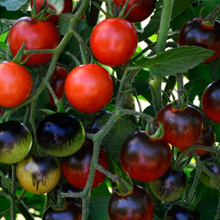 Midnight Snack Hybrid Tomato Seeds