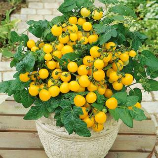 Patio Choice Yellow Hybrid Tomato Seeds