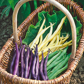 Mardi Gras Blend Bush Bean Seeds