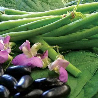 Nautica Bush Bean Seeds