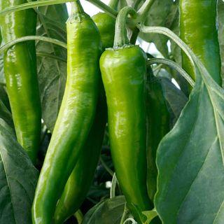 Desperado Hybrid Pepper Seeds
