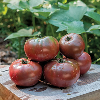 Tomato Purple Boy