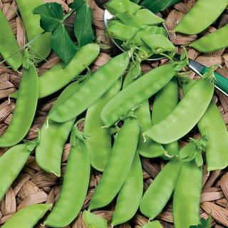 Snow Pea Mammoth Melting Organic