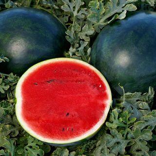 Watermelon Sweetie Pie Hybrid