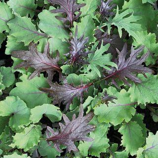 Baby Leaf Mix Kale Seeds