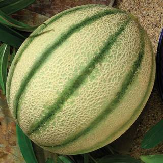 Melon Da Vinci