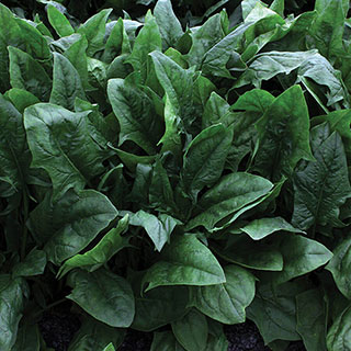 Imperial Star Hybrid Spinach Seeds