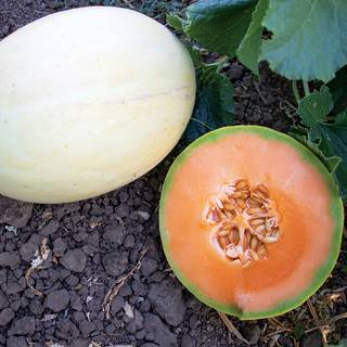 Melon Papayadew F1