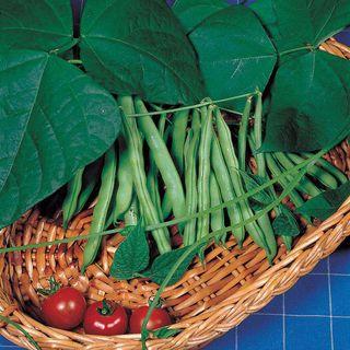 Derby Green Organic Bush Bean Seeds Image