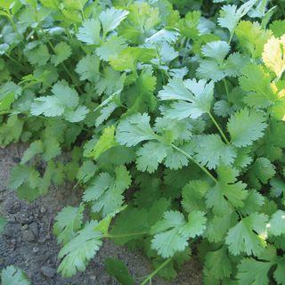 Cilantro Marino Organic Seeds