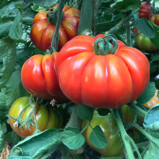 Marmande Marsalato Organic F1 Hybrid Tomato Seeds