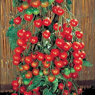 Supersweet 100 Hybrid Tomato Seeds