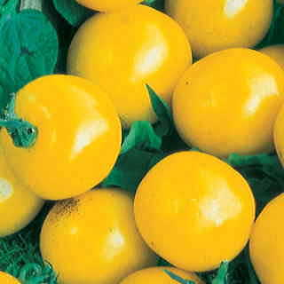 Golden Gem Hybrid Tomato Seeds