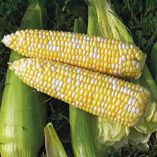 Revelation Hybrid Corn Seeds