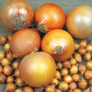 Copra Hybrid Onion Plants