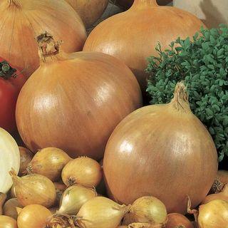 Candy Hybrid Onion Plants