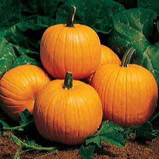 Autumn Gold Hybrid Pumpkin Seeds