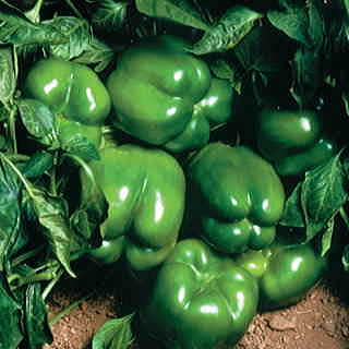 North Star Hybrid Pepper Seeds