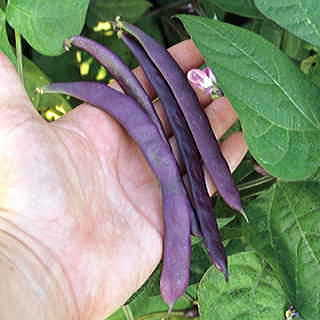 Trionfo Violetto Pole Bean Seeds