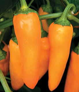 Parks Orangesicle Hybrid Pepper Seeds