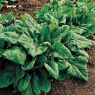 Image of Spinach