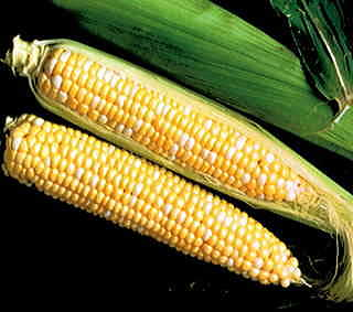 Sweet Temptation Hybrid (SE) Corn Seeds