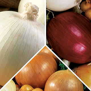 Sampler Pack of Mid-Day Onion Plants