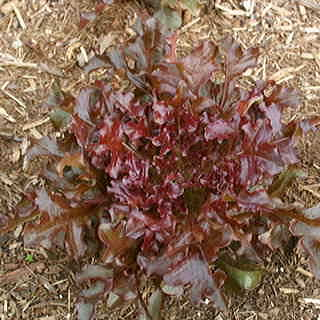Organic Salad Trim Lettuce Seeds