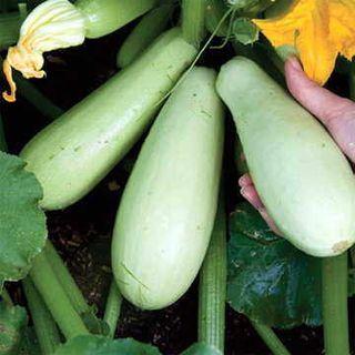 Organic White Squash