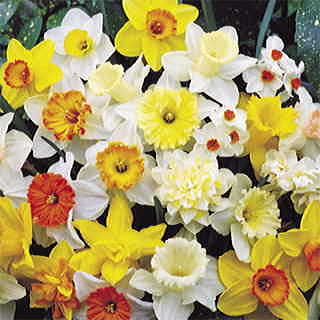 Parks Top-of-the-Line Daffodil MIx - Pack of 10