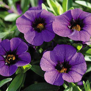 Calibrachoa MiniFamous™ Dark Blue