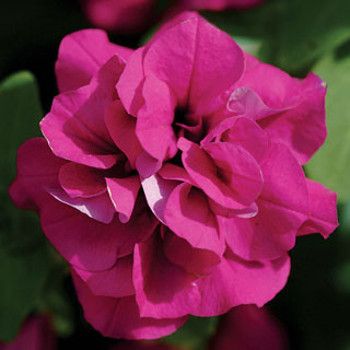 Petunia Double Wave® Purple PP#14,283