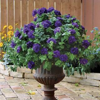Double Wave® Blue Velvet Petunia