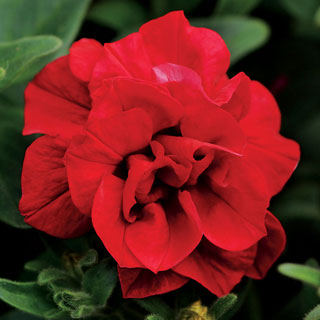 Petunia Double Wave® Red PP#22,441
