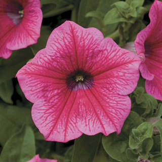 Petunia Surfinia® Rose Veined PP#16,468