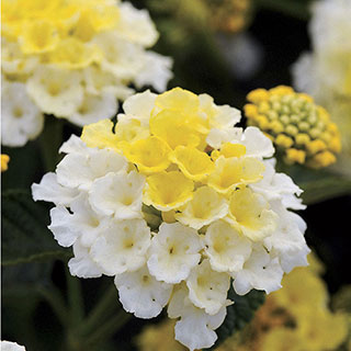 Lantana Lucky™ Lemon Glow (pack of 3)