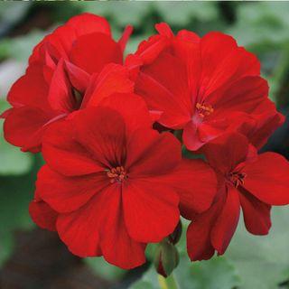 Calliope® Dark Red Geranium (pack of 3)
