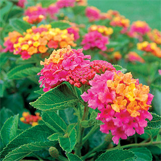 South Beach™ Compact Hot Pink Lantana Plants