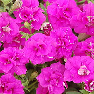 Surfinia® Summer Double Rose Petunia Plants