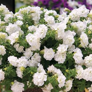 Surfinia® Summer Double White Petunia Plants