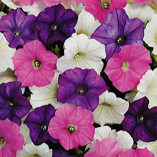 Shock Wave® Spark Mix Petunia Annual Plant Combination