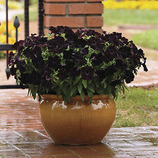 Petunia Black Magic (pack of 3)