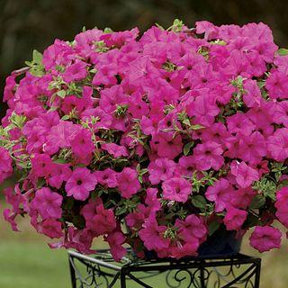 Petunia Surfinia® Sumo Pink (pack of 3)