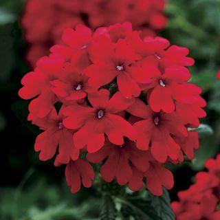 Verbena Endurascape™ Red