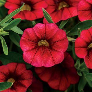 MiniFamous® Calibrachoa Neo Cherry Red