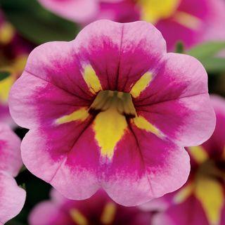 Can-Can® Bumble Bee Pink Calibrachoa