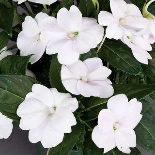 SunPatiens® Compact White Impatiens