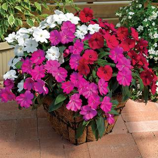 SunPatiens® Best Friends Combination