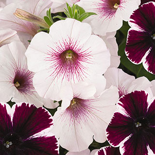 Petunia Confetti Garden ™ Marvelous Orchid Combination