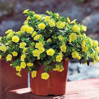 MiniFamous® Double Lemon Calibrachoa (pack of 3)